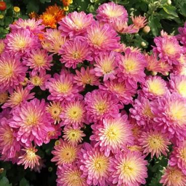 Хризантема горшкова дрібноквіткова літня