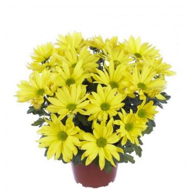 Хризантема середньоквіткова осіння