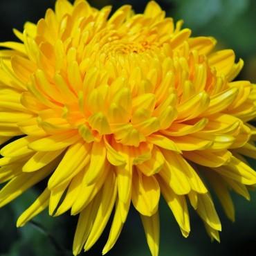 Хризантема горшкова великоквіткова осіння