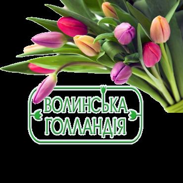 """Тюльпан """"Волынская Голландия"""""""