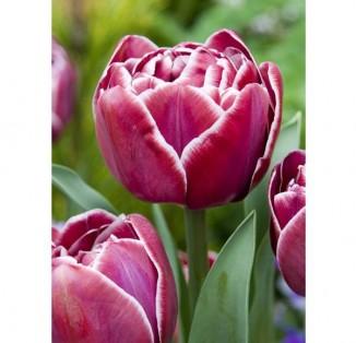 Піоновидний рожевий