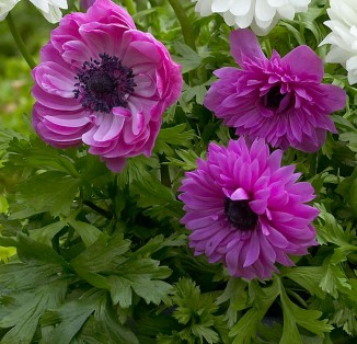 Anemone double Admiral