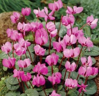 Cyclamen Coum ssp coum