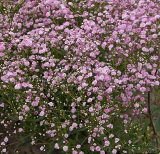 Gipsophilla Paniculata pink