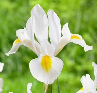 Iris hollandica White Excelsior