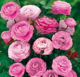 Ranunculus asiatus aviv Pink