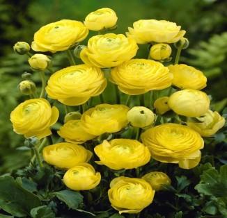 Ranunculus asiatus aviv Yellow