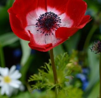Anemones Hollandia