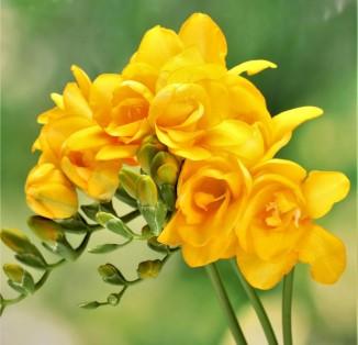 Fresia double Yellow
