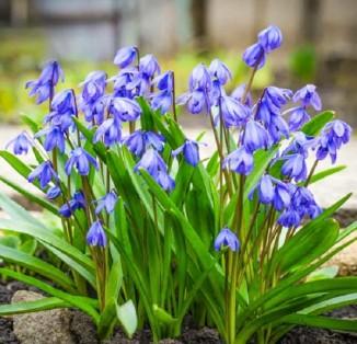 Scilla bifolia Blue
