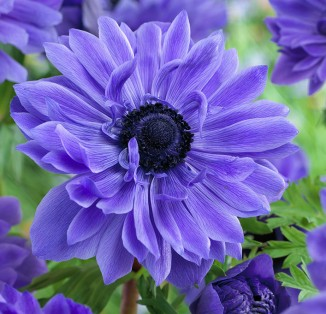 Anemone double Lord Lieutenant