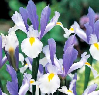 Iris Hollandica Silvery Beauty