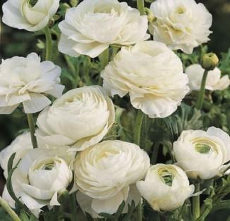Ranunculus tomer White