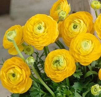 Ranunculus tomer Yellow