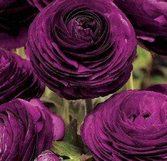 Ranunculus tomer Purple