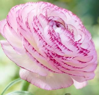 Ranunculus picotee Pink & White