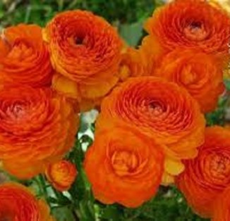 Ranunculus asiaticus Orange