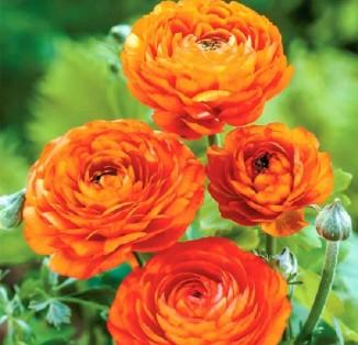 Ranunculus tomer Orange