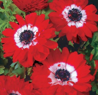 Anemone double Governor