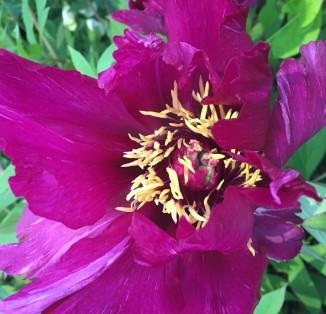 itoh Morning Lilac