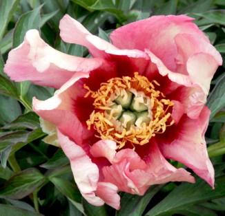 itoh Old Rose Dandy