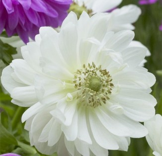 Anemone double Mont Everest