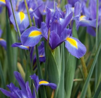 Iris hollandica Blue Magic-
