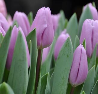 Біло-рожевий