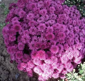 Remos Lilac