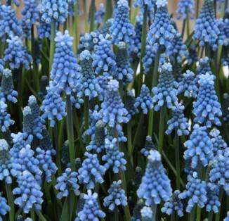 Aucheri Blue Magic