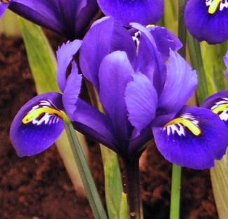 Iris reticulata Rhapsodidy