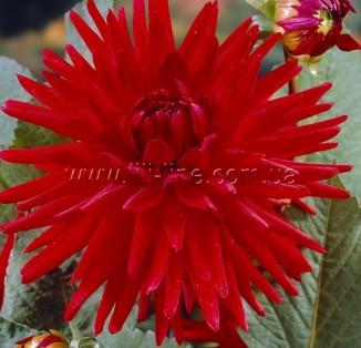 border cactus RED PIGMY