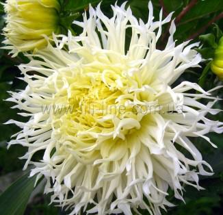 cactus TSUKI YORI NO SHISHA