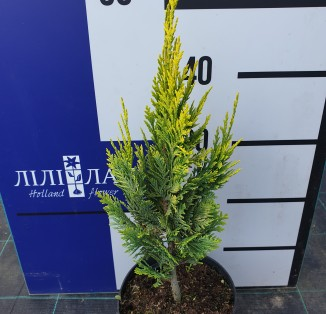 Кипарисовик Лавсона Alumigold