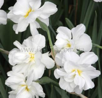 Albus Plenus Odoratus (ботанічний)