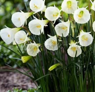 Bulbocodium White Petticoat (ботанічний)
