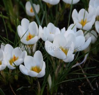 Chrysanthus Ard Schenk