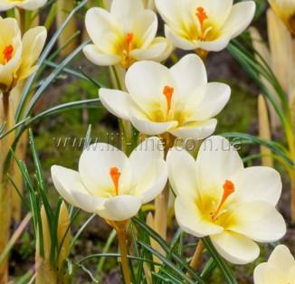 Chrysanthus Cream Beauty