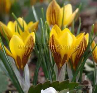 Chrysanthus Fuscotinctus