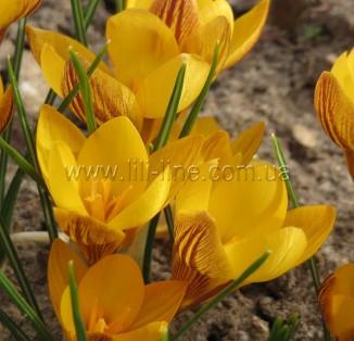 Chrysanthus Doroty