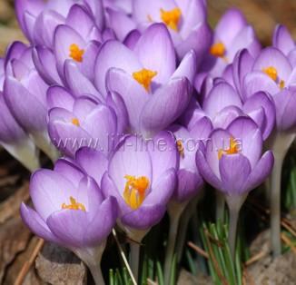 Tommasinianus Barrs Purple