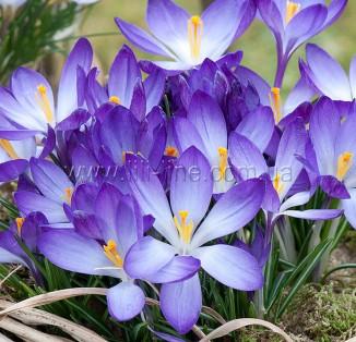 Tommasinianus Whitewell Purple