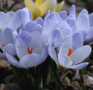 Chrysanthus Blue Pearl