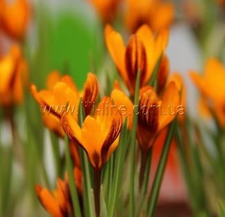 Olivieri ssp balansae Orange Monarch